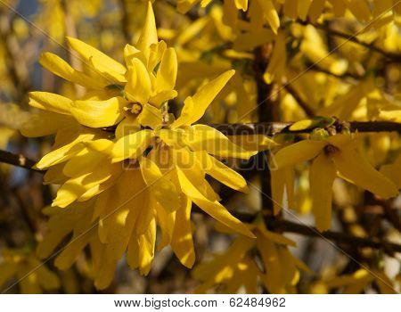 forsythia bush blossoming at spring
