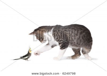 Cat And Cockatiel