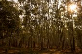 image of eucalyptus trees  - A dazzling group of eucalyptus trees with sun - JPG