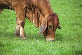 Brahman Cow Grazing On Grass Closeup