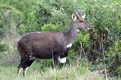 picture of antelope horn  - Adult male bushbuck antelope in the wild African bush - JPG