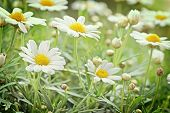 image of chamomile  - Green grass and chamomiles in the nature - JPG