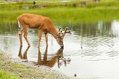 stock photo of antlered  - A young male deer  - JPG