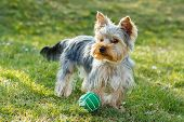 stock photo of yorkshire terrier  - Cute small yorkshire terrier is running on a green lawn outdoor no people with small ball - JPG