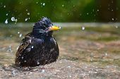 Starling take a bath
