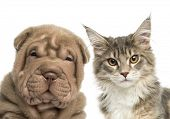stock photo of shar-pei puppy  - Close - JPG