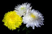 picture of chrysanthemum  - bouquet from three beautiful chrysanthemum on a black background big beautiful flowers