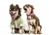 foto of chihuahua  - Chihuahua shouting at the ear of a dressed Chihuahua - JPG