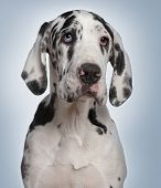 stock photo of great dane  - Great Dane puppy - JPG