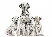 foto of puppies mother dog  - Mother Dalmatian sitting behind her puppies - JPG