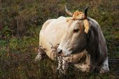 Cow pic.