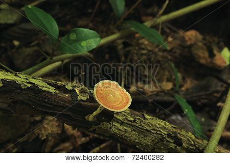 Brown mushroom on the timber
