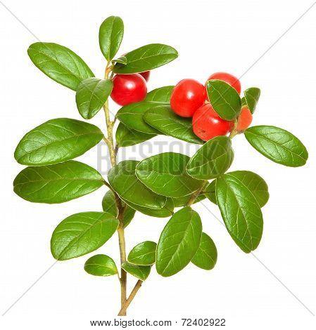Cowberry (vaccinium Vitis Idaea) Plant