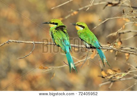 Swallow tailed Bee-eater - African Wild Bird Background - Beautiful Green