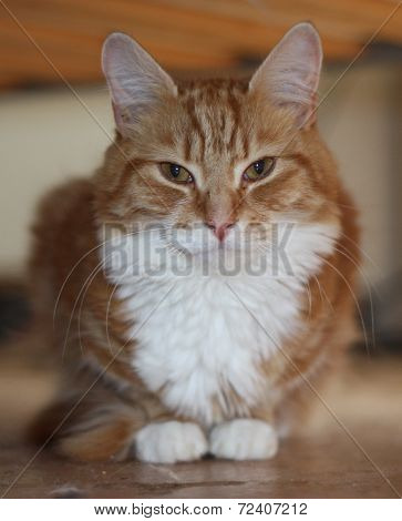 A Very Cute Long Haired Ginger Tabby Cat With White Front Coat