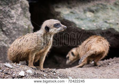 Pair Of Meerkats (suricata Suricatta)