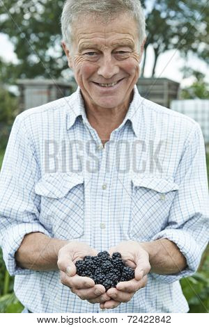 Senior Man On Allotment Holding Freshly Picked Blackberries