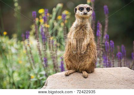 Meerkat Is Looking Around