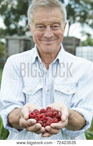 Senior Man On Allotment Holding Freshly Picked Raspberries