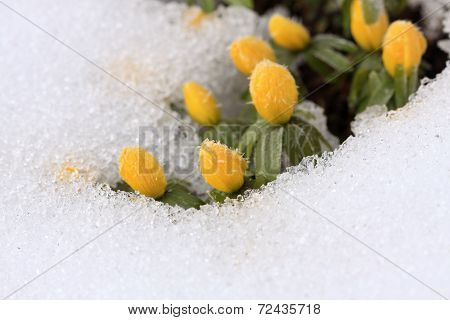 Beautiful Winter Aconite  / Eranthis Hyemalis/ In Snow
