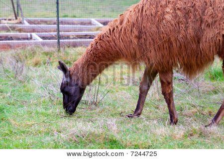 Llama In Field