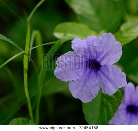 Ruellia Tuberosa Flowers, Also Known As Minnie Root, Fever Root, Snapdragon Root And Sheep Potato