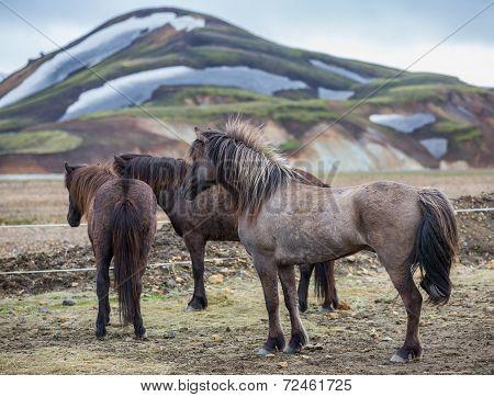 Icelandic horses group in Landmannalugar landscape