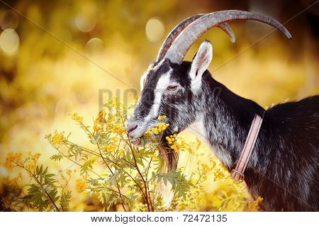 Goat And Tansy