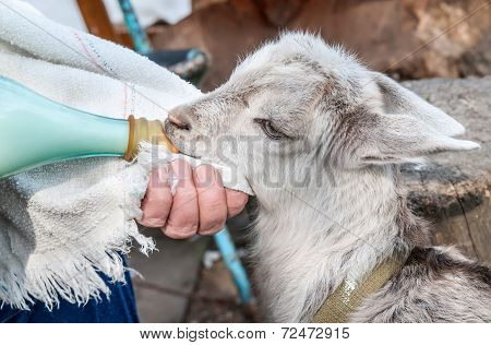 Hand Feeding A Baby Goat With A Milk Bottle