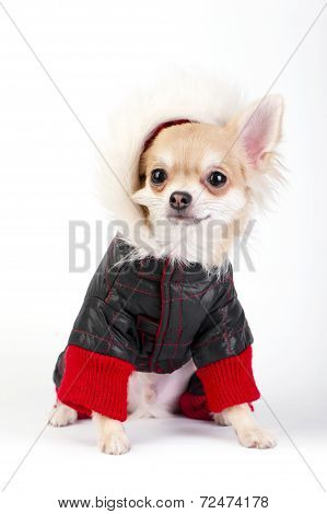 Chihuahua puppy dressed in bright jumpsuit with fur hood