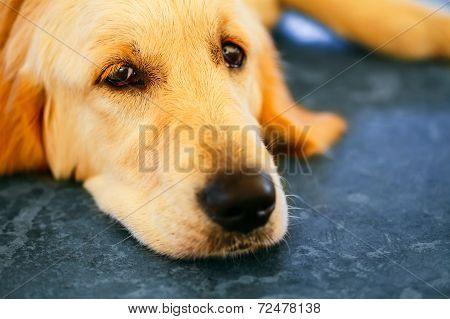 Lost Homeless Golden Labrador Retriever Dog