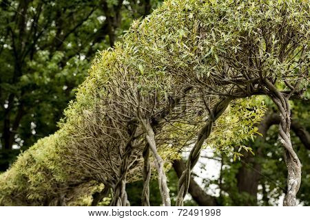 Willow Hedge