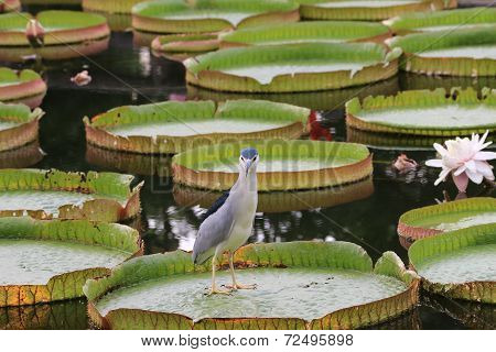 Santa Cruz waterlily flowers and bird