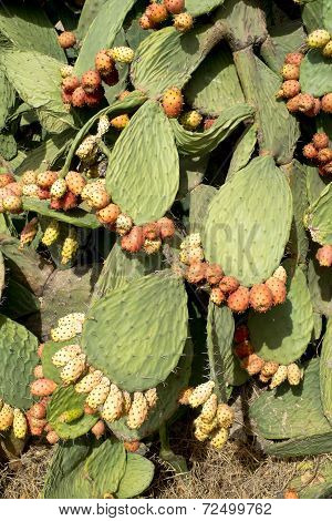 Prickly Pears
