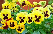 picture of viola  - Yellow viola flowers in flower pot on balcony close up view - JPG