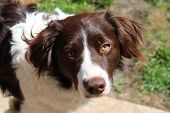 stock photo of cross-breeding  - cute handsome liver and white sprollie springer collie cross pet dog - JPG