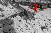 Постер, плакат: WW1 battlefield with poppies B&W