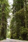 stock photo of redwood forest  - A road through a forest - JPG