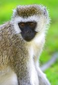stock photo of omnivore  - Vervet monkey  - JPG