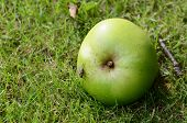 pic of flesh  - Flesh fly on a windfall apple lying on green grass - JPG