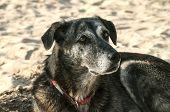 image of mongrel dog  - Adult female mongrel dog on sand beach background - JPG