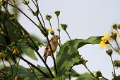 pic of goldfinches  - American Goldfinch female feeding on sunflowers early morning - JPG