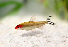 foto of freshwater fish  - Rummy - JPG
