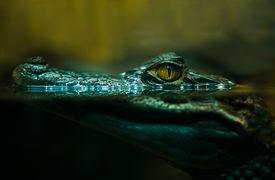 picture of crocodile  - the photo crocodile alligator crocodile eyes lookingclose up - JPG