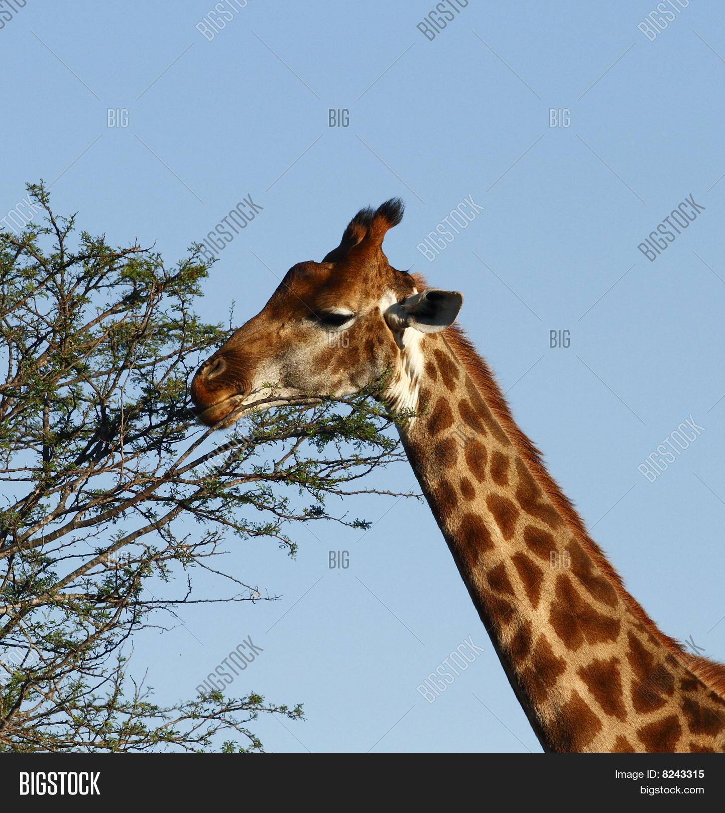 Giraffe eating leaves clipart