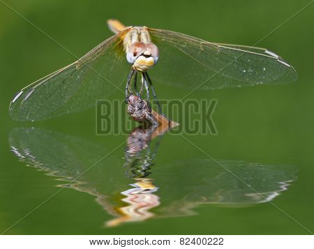 Dragonfly in the river