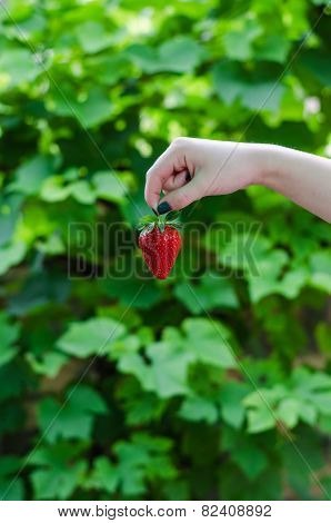 Female Hand Holding The Strawberry