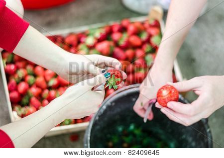 Two Female Hands Cleaning Up Strawberries From Leaves