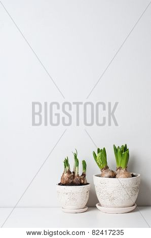 Hyacinth And Narcissus Sprouts