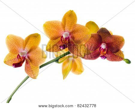 Blooming  Beautiful Twig Of Orange Spotted Orchid, Phalaenopsis Is Isolated On White Background
